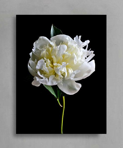 White Peony Flower - Printable Photography Download therandomimage.com