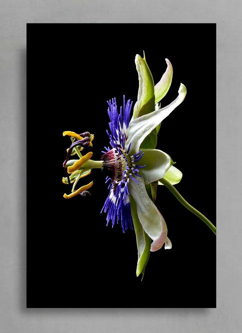 Blue Crown Passion Flower ~ Large Flower Art therandomimage.com