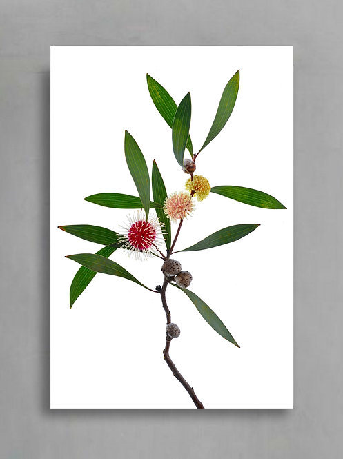 Pin-Cushion Hakea ~ Australian Botanical Wall Art Print therandomimage.com