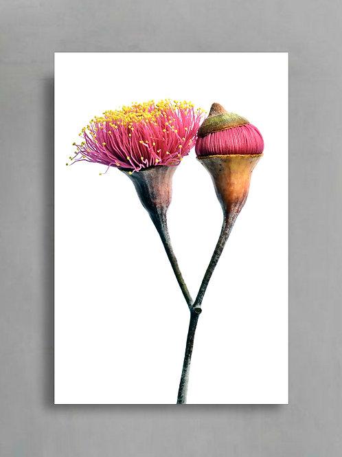 Silver Princess Duo ~ Australian Botanical Photography ~ Wall Art Print therandomimage.com