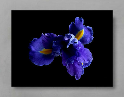 blue iris dark and moody floral wall art therandomimage.com As seen on House Rules
