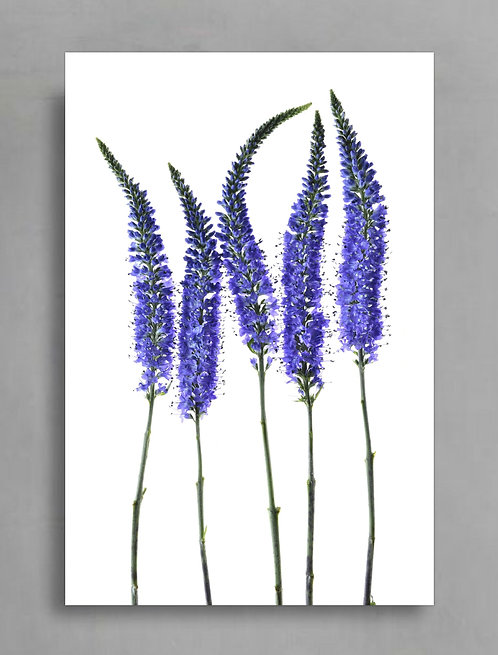 Blue Speedwell ~ Blue And White Floral Art therandomimage.com
