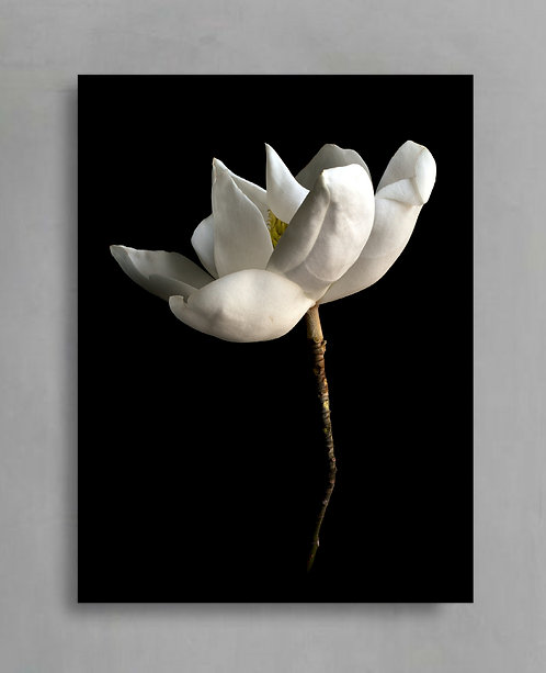 White Magnolia ~ Flower Artwork therandomimage.com