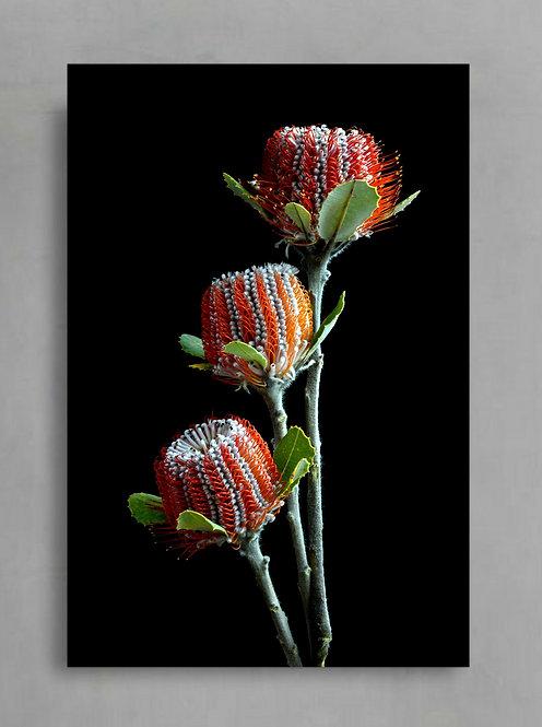 Banksia Trio ~ Australian Floral Print ~ Flower Art therandomimage.com
