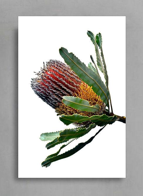 Banksia Menziesii ~ Australian Botanical Wall Art therandomimage.com