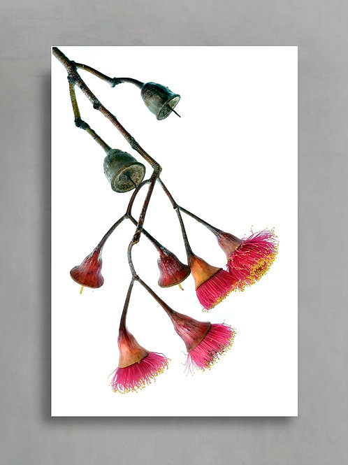 Eucalyptus Caesia - Silver Princess Photography Print therandomimage.com