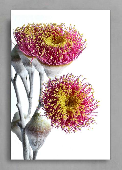 Eucalyptus Blossoms ~ Digital Download therandomimage.com