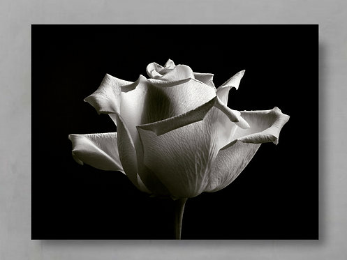 Black And White Rose ~ Printable Digital Download therandomimage.com