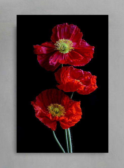 red poppies red and black flower photography print therandomimage.com