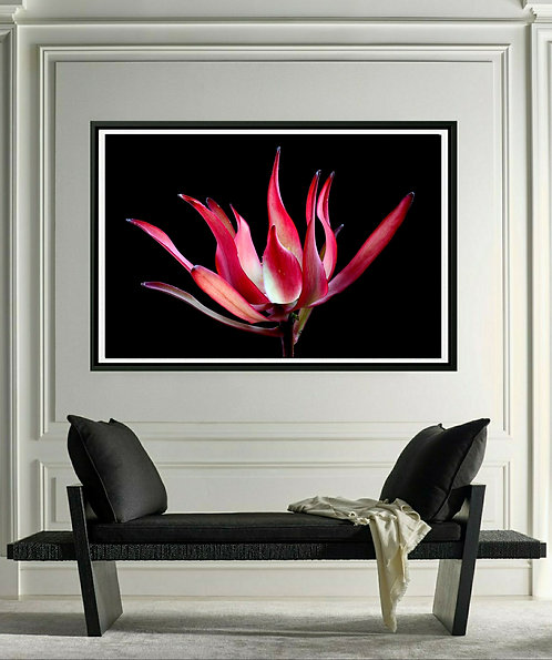 Leucadendron ~ Red Floral Wall Art Print ~ Fine Art Photography therandomimage by Nadia Culph
