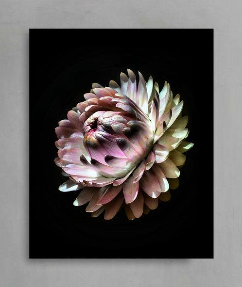 Pink Strawflower ~ Flower Photography Artwork therandomimage.com