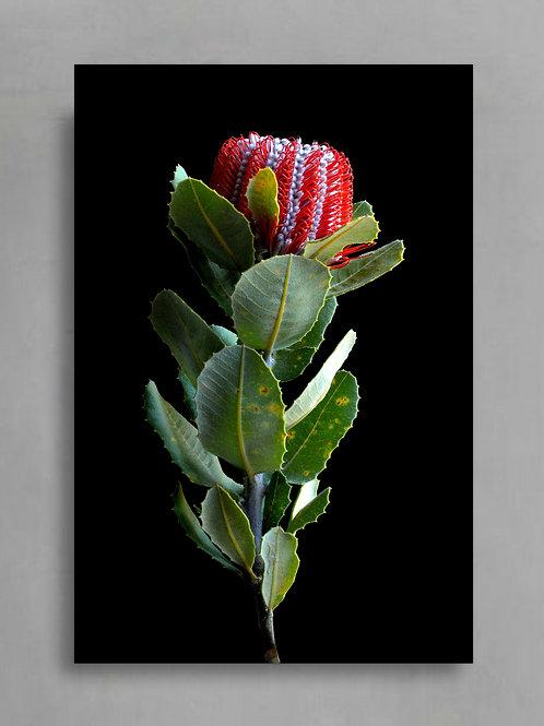 Waratah Banksia ~ Australian Nature Photography Print therandomimage.com