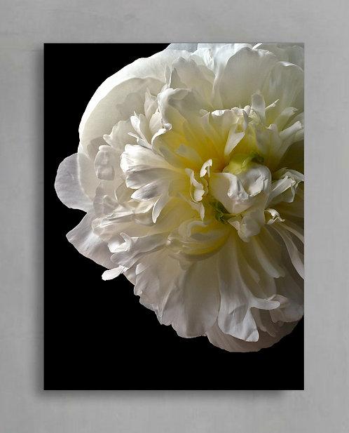 Peony ~ White Peony Flower Fine Art Photography Print therandomimage.com