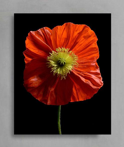 Orange Poppy 2 ~ Macro Photography Print therandomimage.com