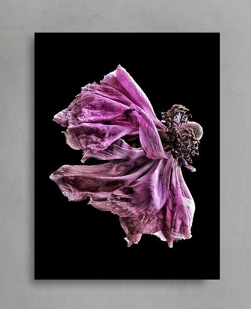 Magenta Ranunculus Redefined ~ Dramatic Flower Photography