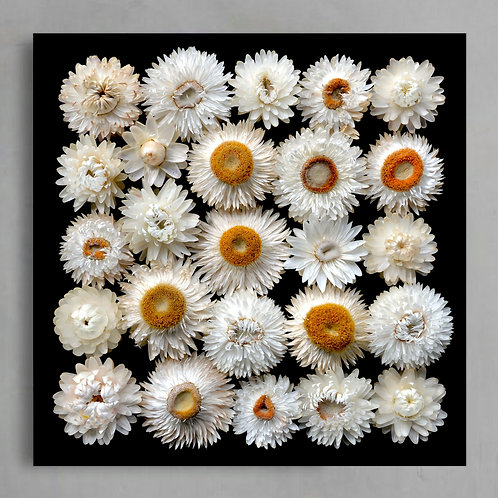 White Paper Daisies ~ Square Floral Wall Art Photography Print therandomimage.com