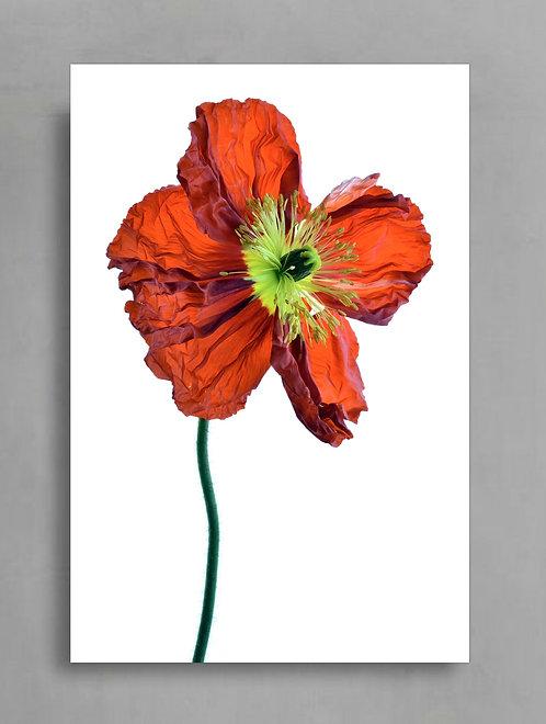 Red Poppy ~ Macro Photography Print therandomimage.com