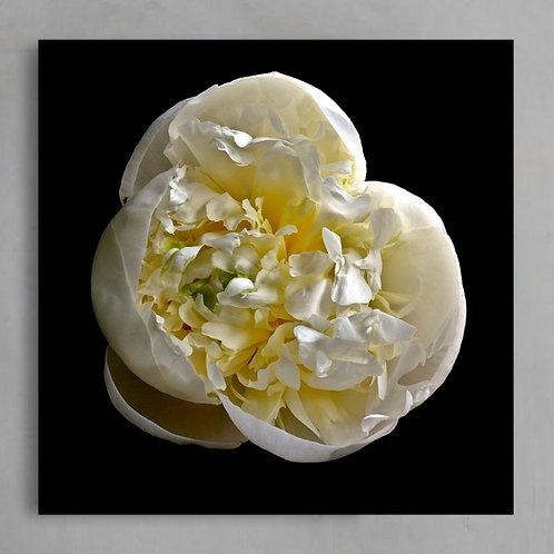 Peony Petals ~ Close up white Peony flower photography print therandomimage.com