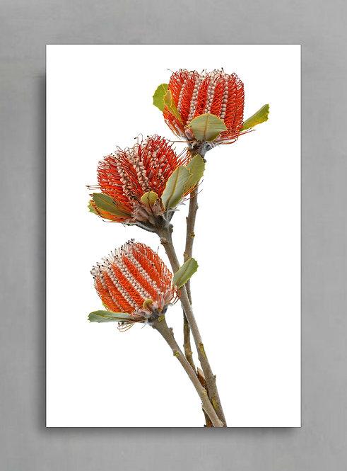 Scarlet Banksia Trio ~ Australian Floral Print ~ Flower Art therandomimage.com