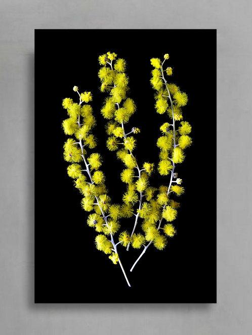 wattle Australian native flower photography therandomimage.com