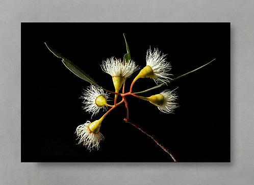 yellow gum blossoms Australian native botanical artwork therandomimage.com