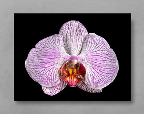 Moth Orchid ~ Macro Flower Wall Art Print therandomimage.com