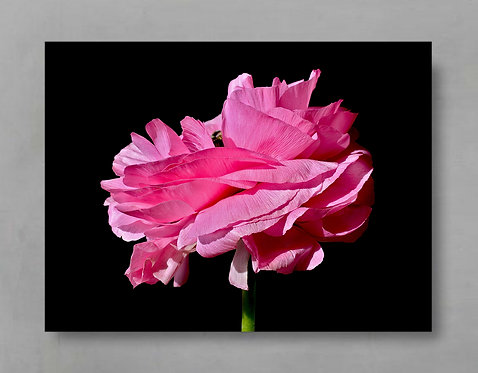 Fuchsia Ranunculus ~ Floral Wall Art therandomimage.com