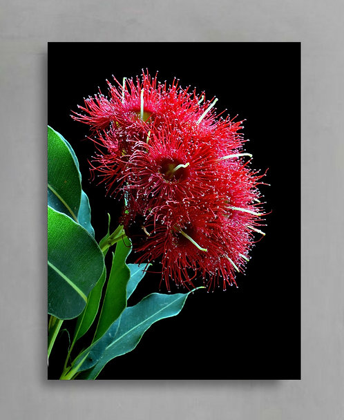 Red Wildfire Gum Blossoms ~ Australian Nature Photography Print therandomimage.com