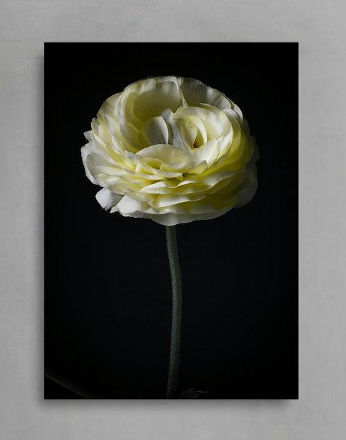 Creamy Ranunculus ~ Printable Digital Download therandomimage.com