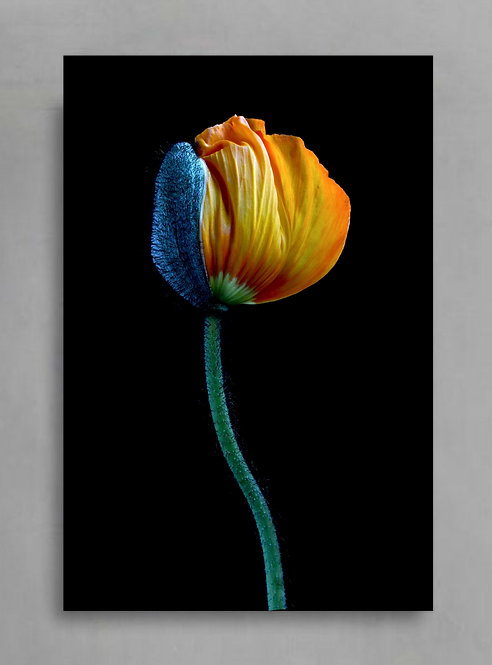 Yellow Poppy Blooming ~ Still Life Flower Print therandomimage.com