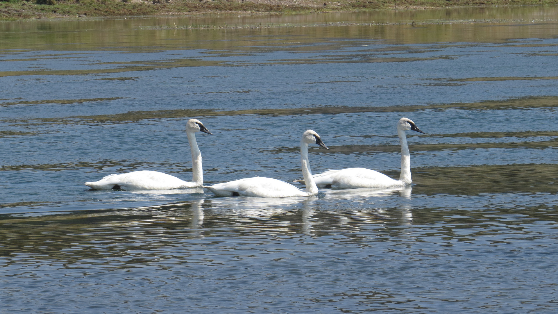 yellowstone-park-tour-trumpeter-swans.JP