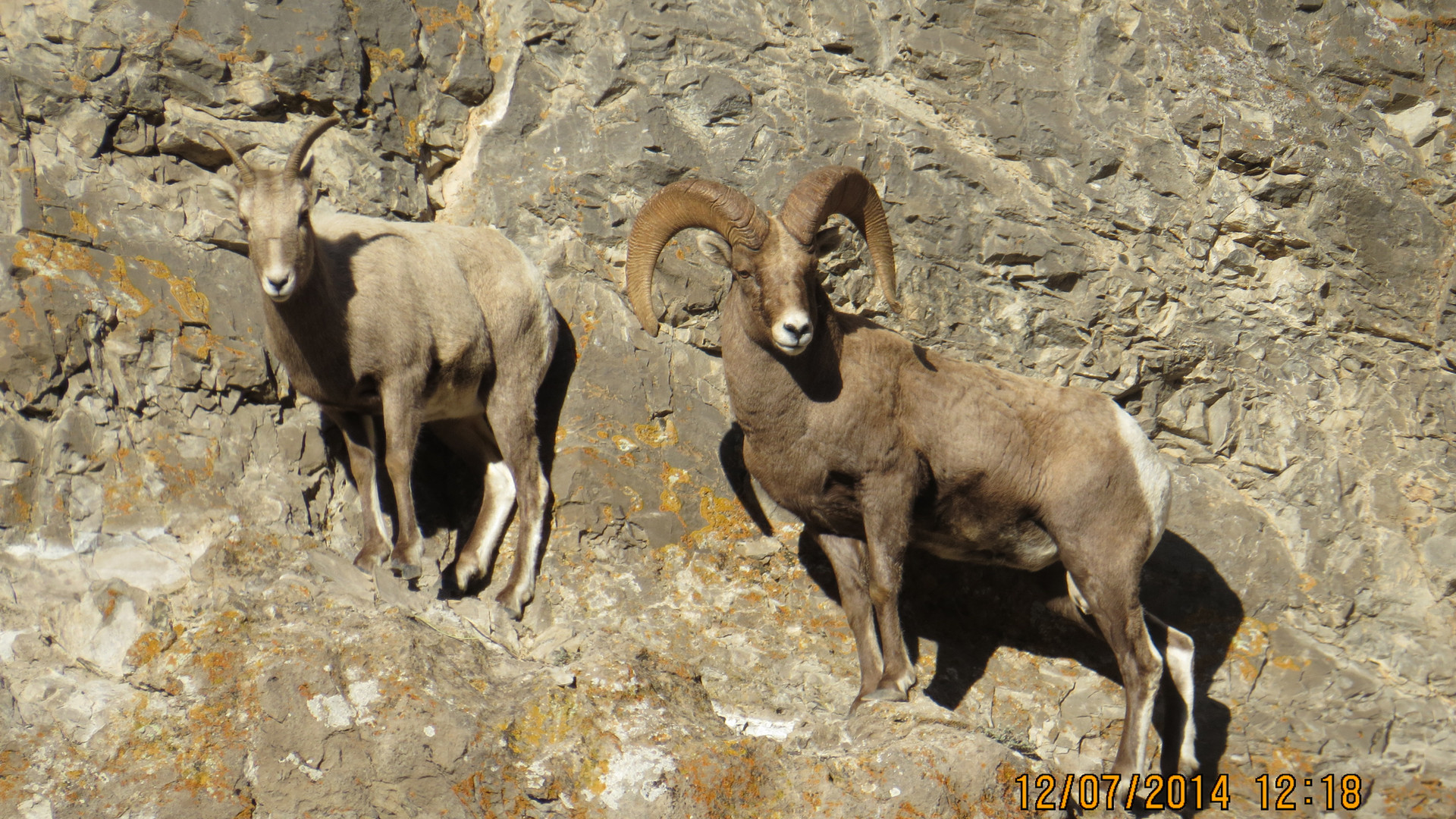 jackson-hole-wildlife-tour-bighorn-sheep