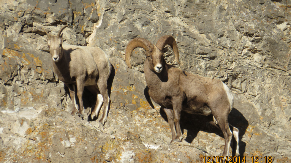 jackson-hole-wildlife-tour-bighorn-sheep