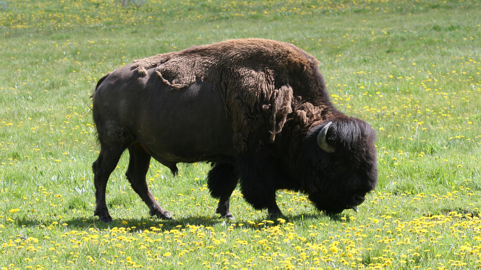 yellowstone-national-park-tour-bison.JPG