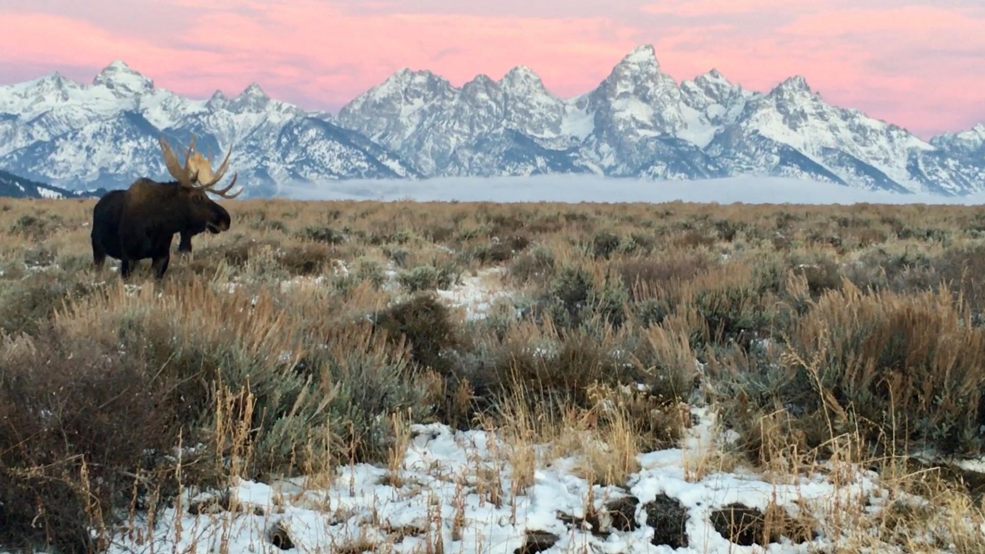 Grand-Teton-Tour-bull-moose