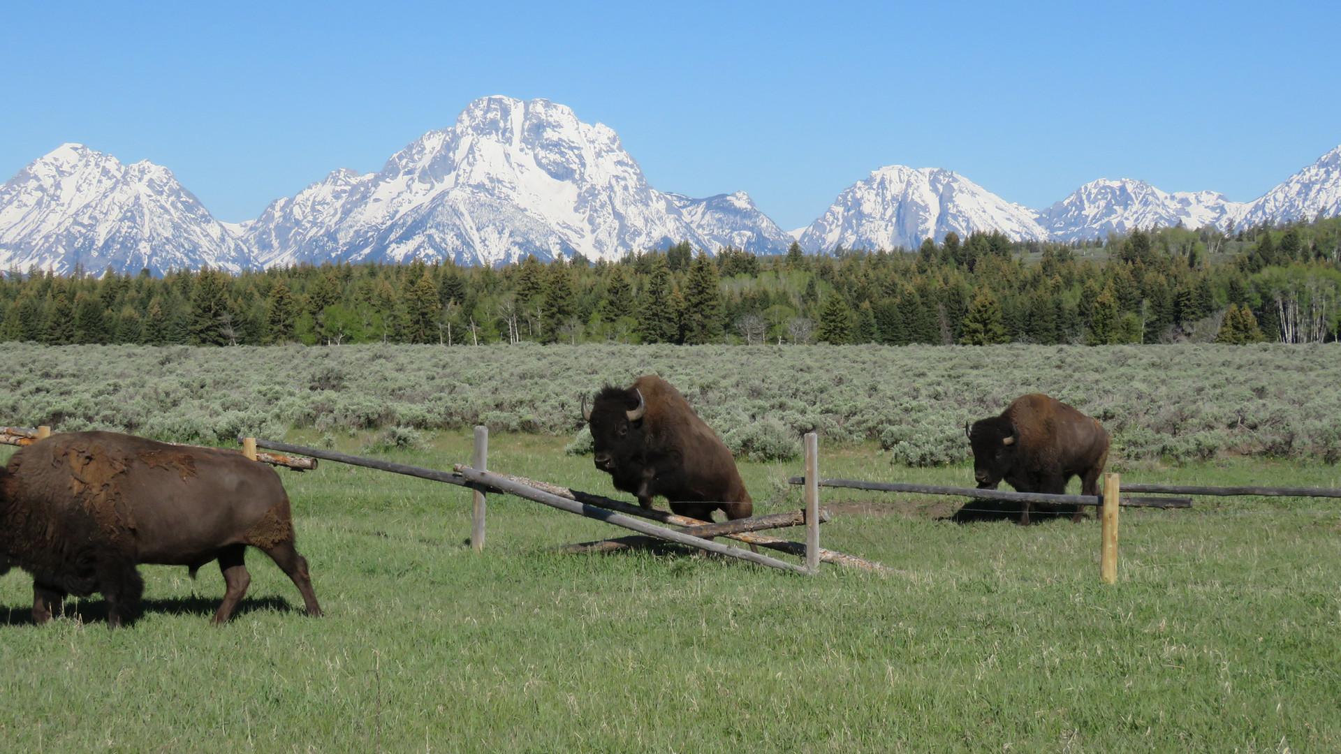 grand-teton-national-park-tour-bison-jum