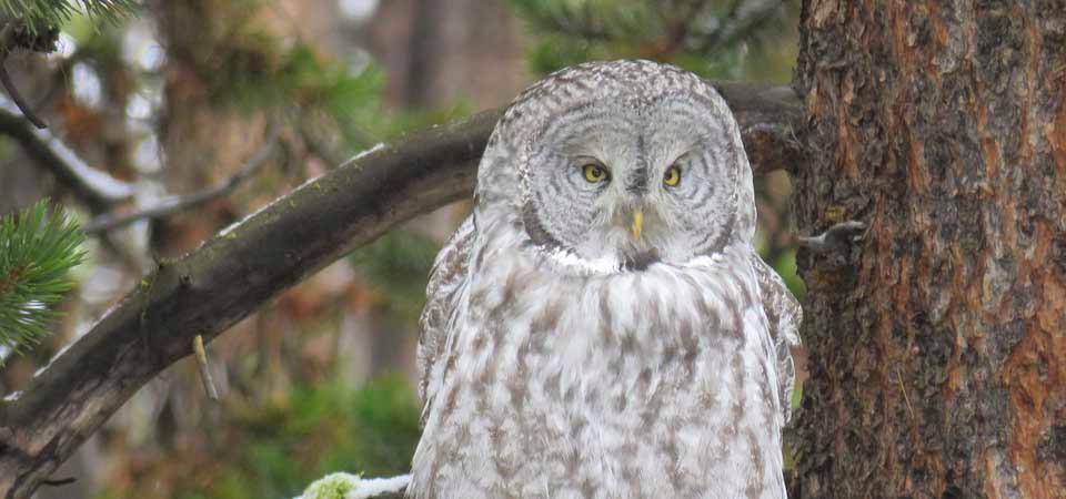 Yellowstone-Day-tours-Gray-Owl.jpg