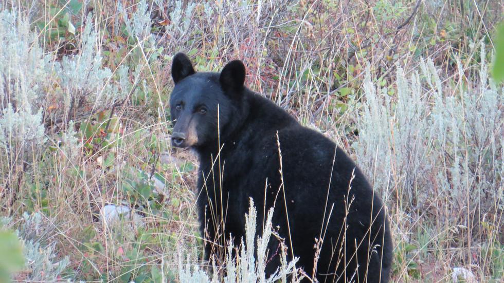 grand-teton-park-guided-tour-black-bear.