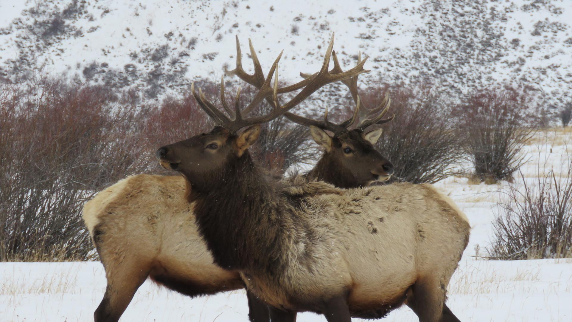 jackson-hole-wildlife-tour-elk-2 - Copy.