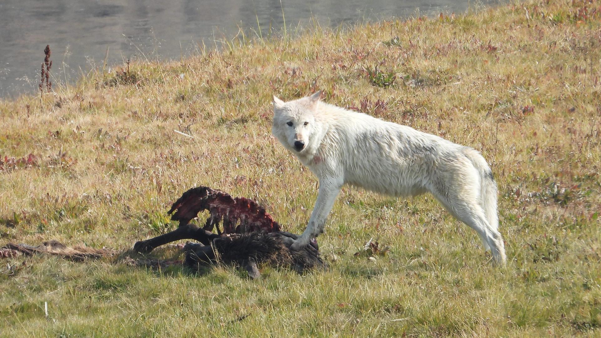Yellowstone-Day-Tours-wolf.jpg