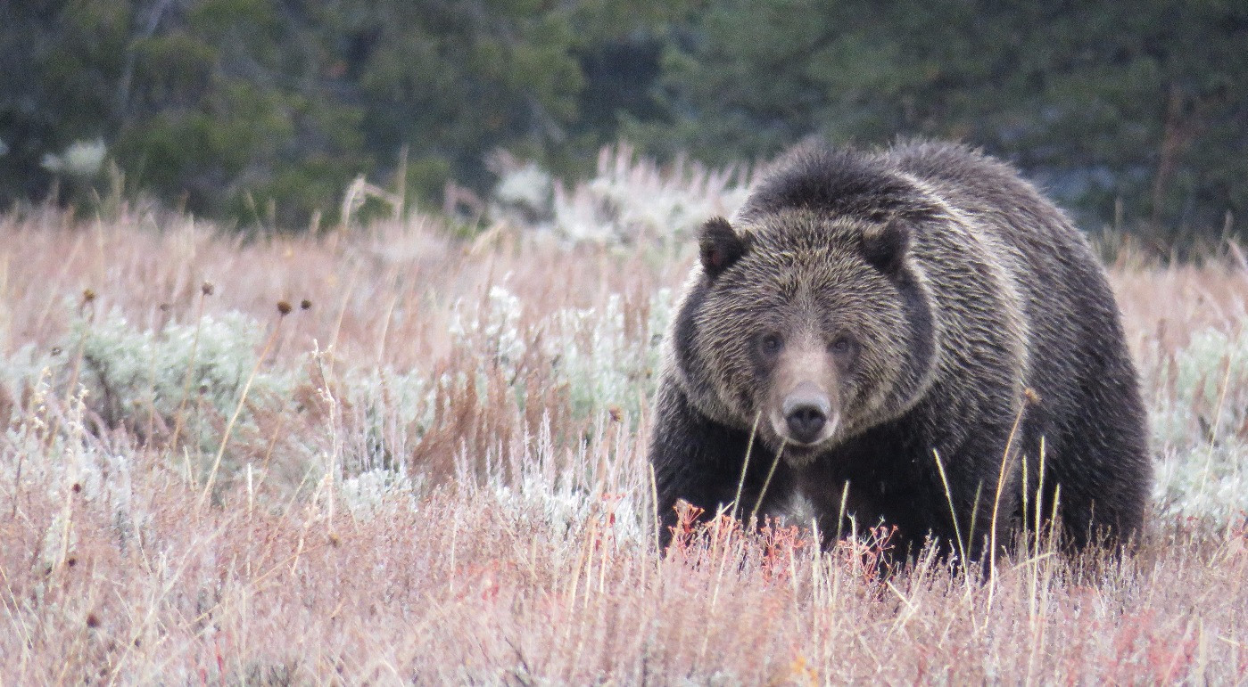 Yellowstone-Day-Tour-Grizzly.jpg
