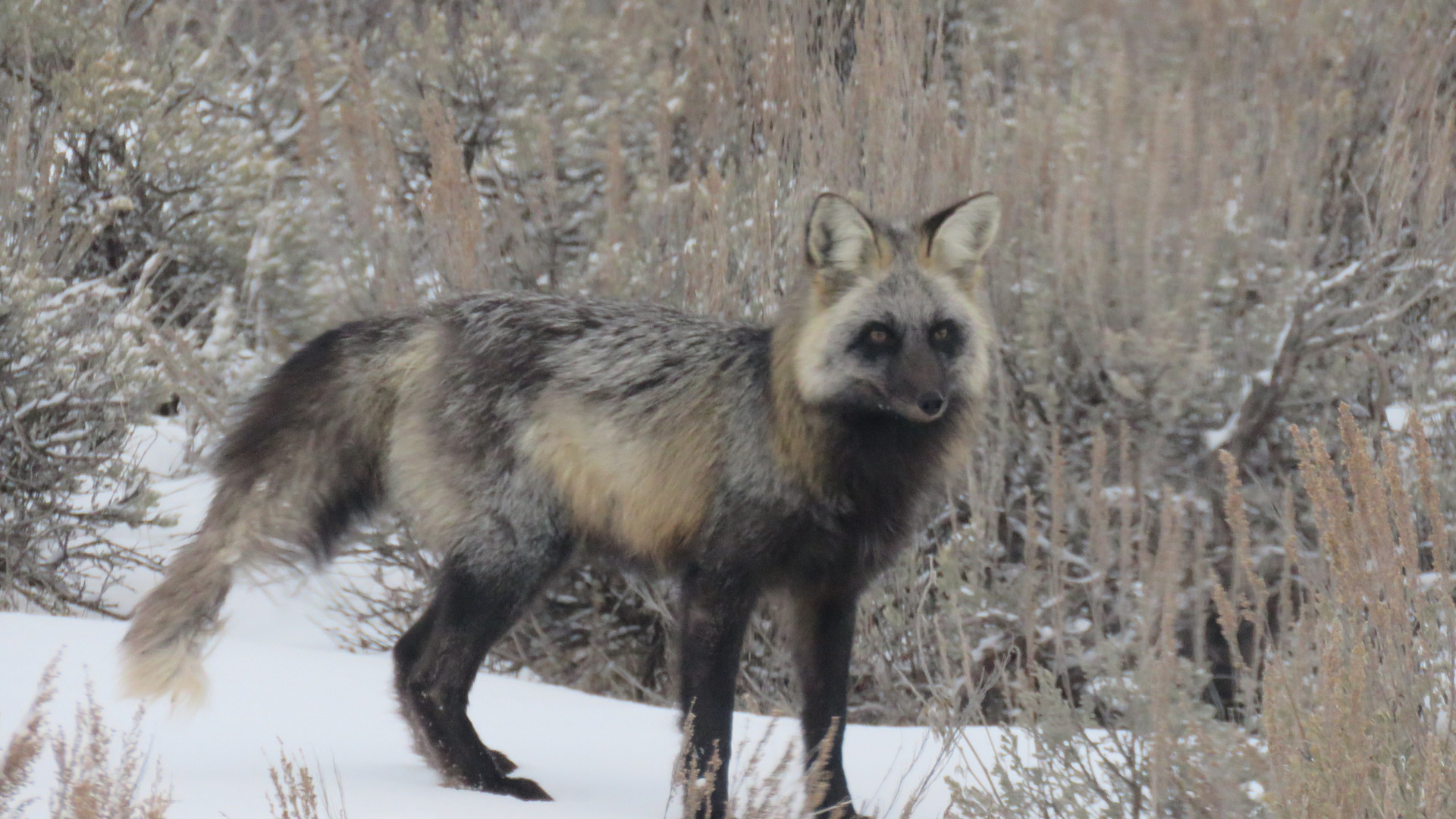 jackson-hole-wildlife-tour-fox-2 - Copy.
