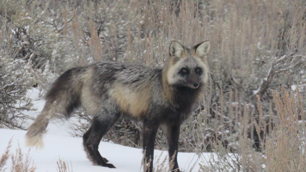 jackson-hole-wildlife-tour-fox-2 - Copy.