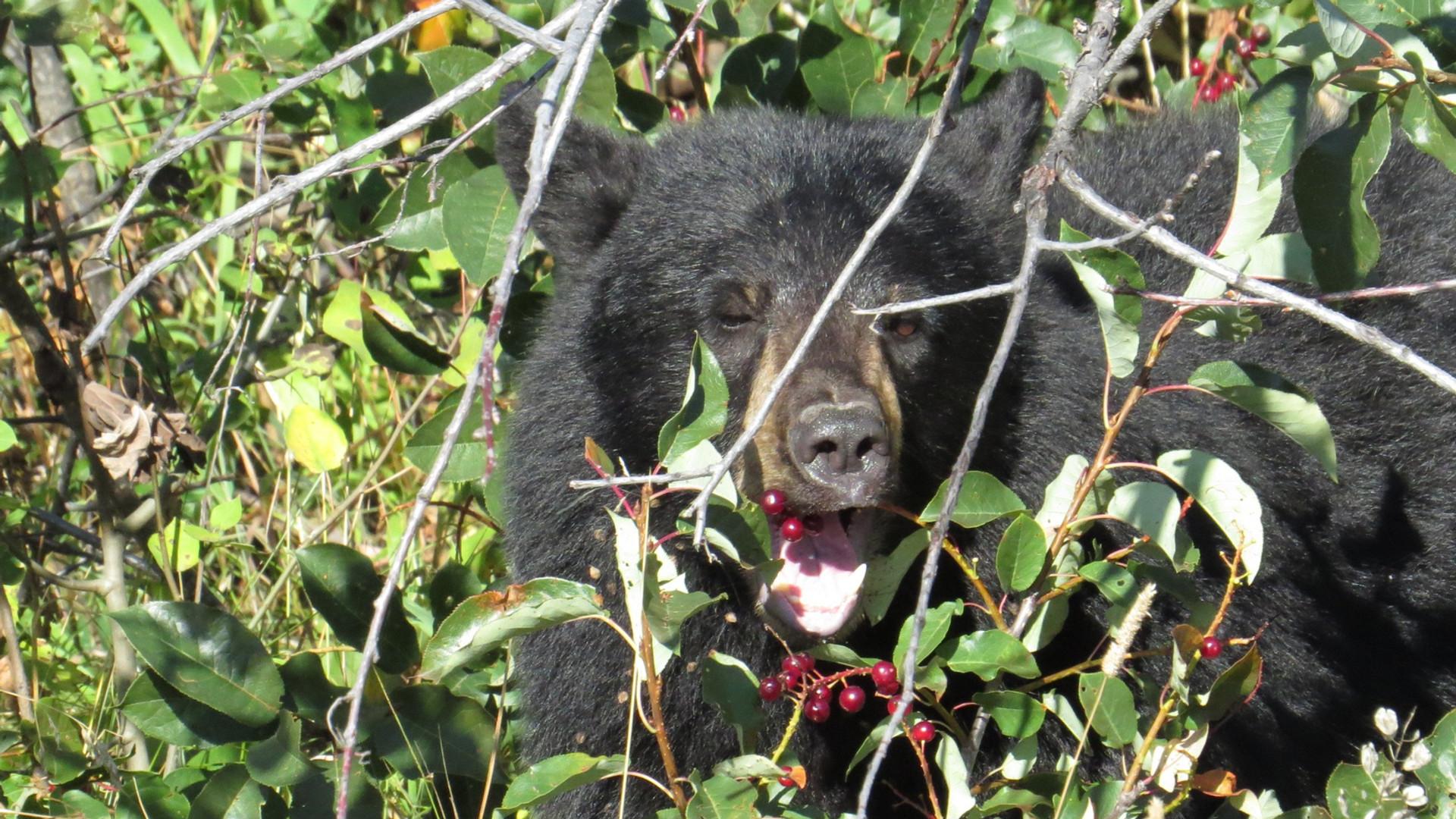 Yellowstone-Day-Tour-black-bear.JPG