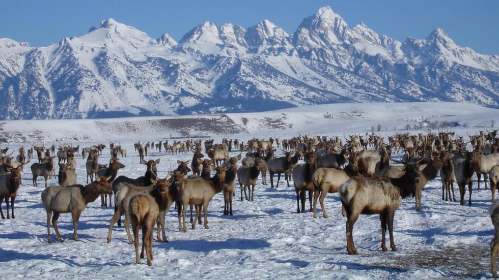 Jackson-hole-wildlife-tour-national-elk-