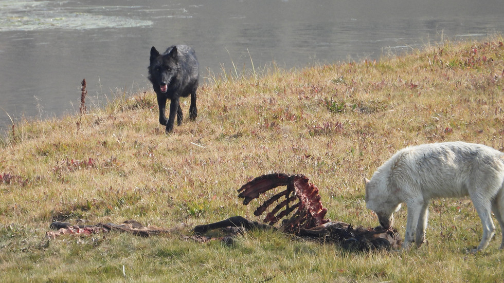 Yellowstone-Day-Tours-wolves.jpg