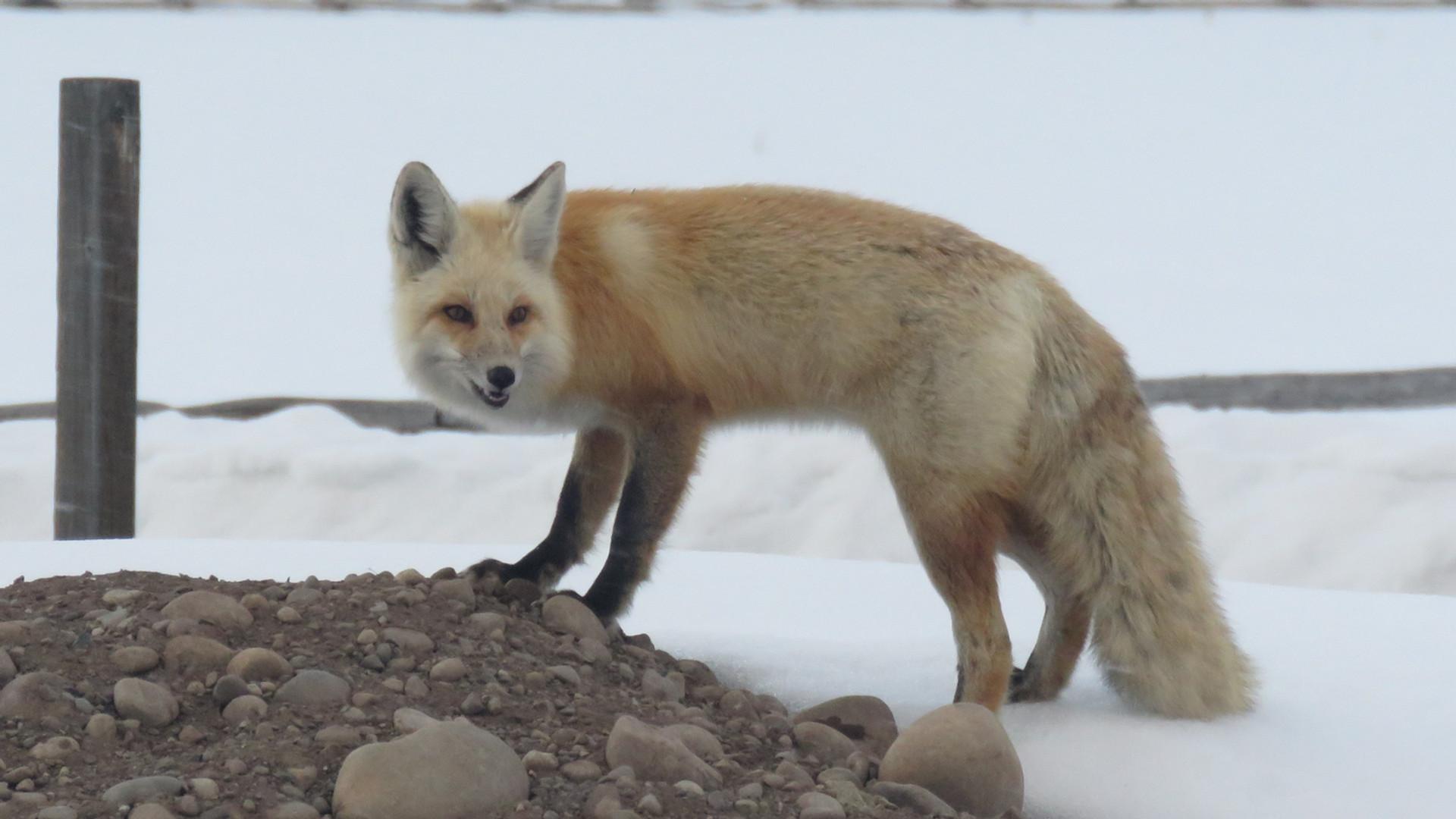 jackson-hole-wildlife-tours-red-fox.JPG