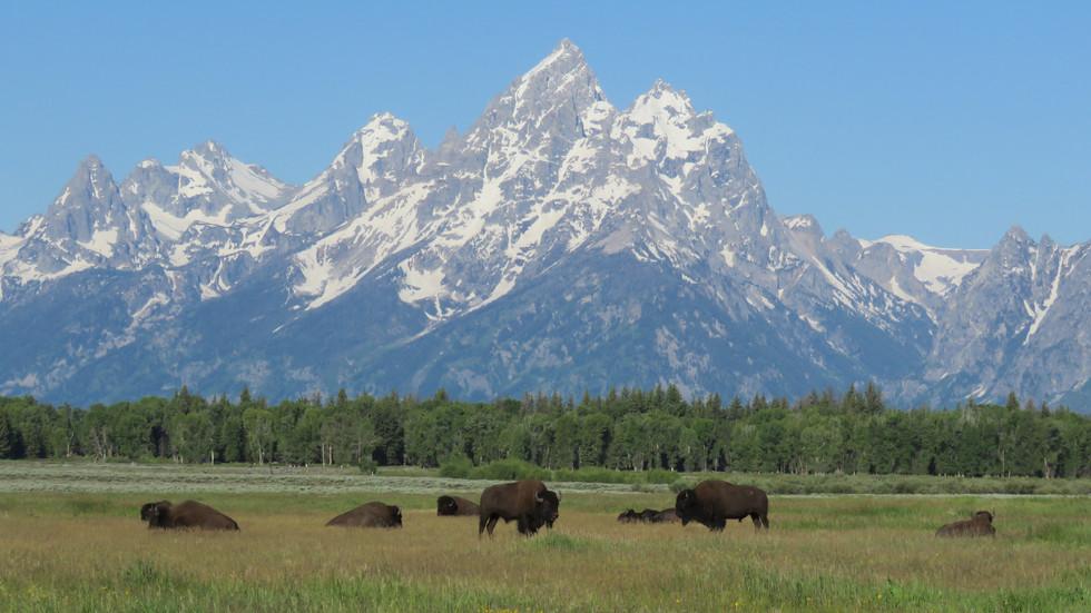 grand-teton-guide-tour-tetons-bison.JPG