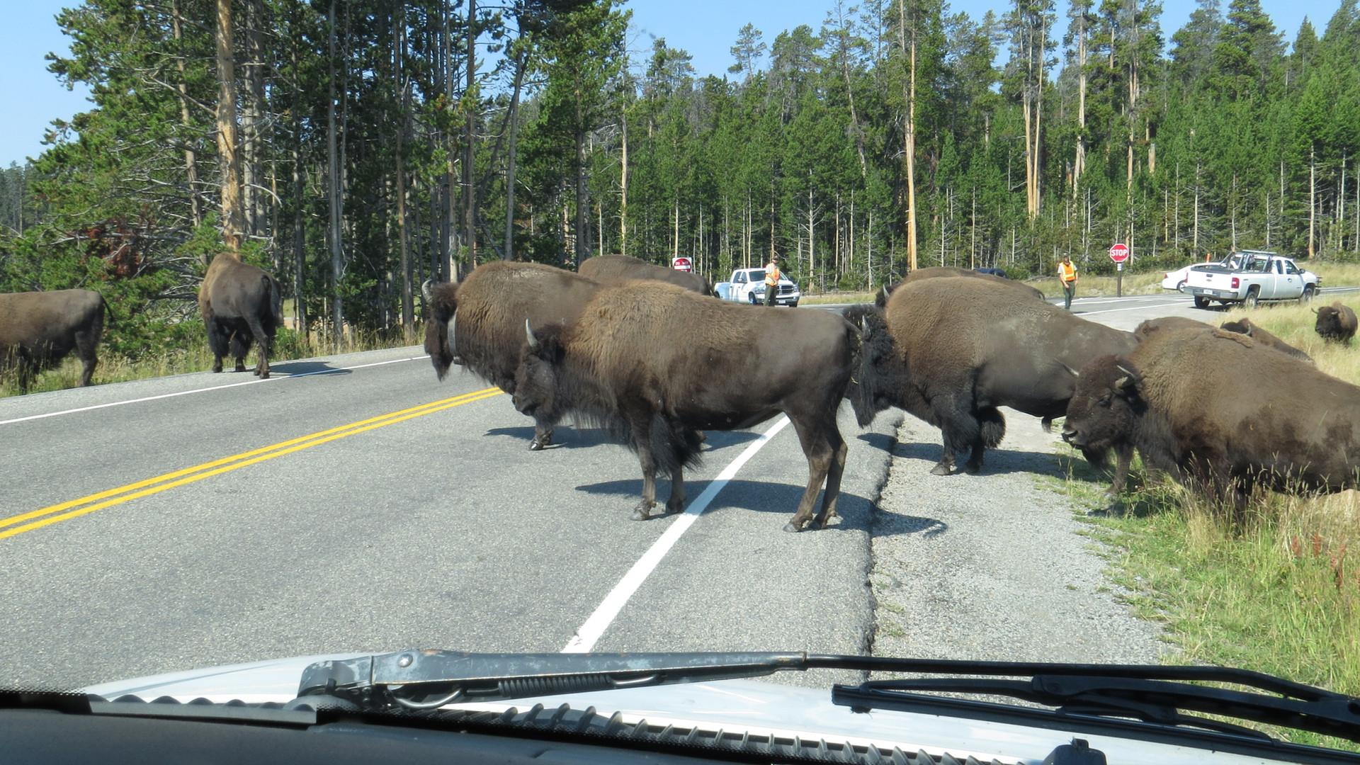 yellowstone-park-tour-bison-herd.JPG