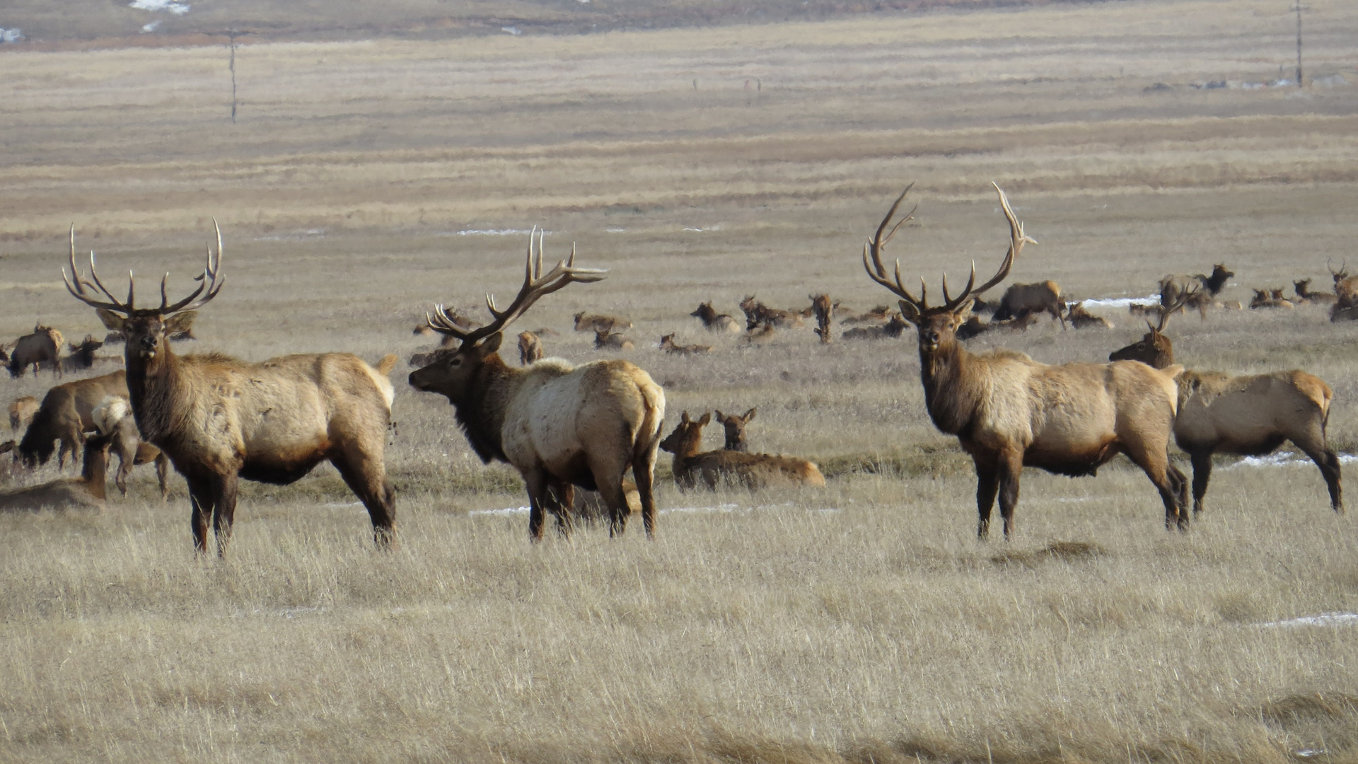 Yellowstone-tour-bull-elk